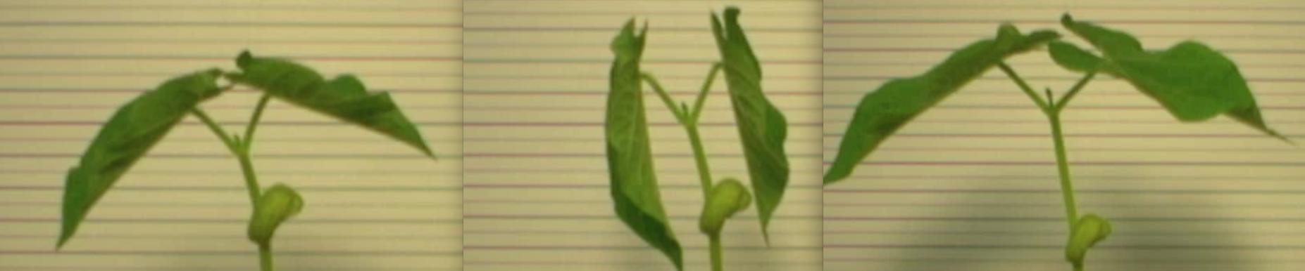 beans-oscillate