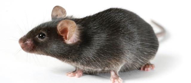 A C57 Black/6 mouse