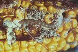 euro-corn-borer-cob