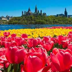 tulips blooming Ottawa
