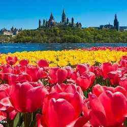 tulips blooming Ottawa
