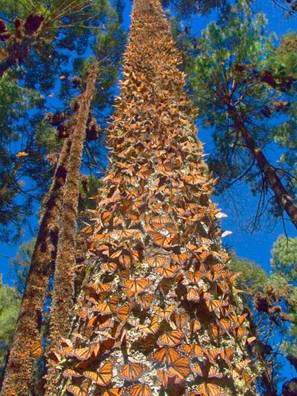 butterfly-tree