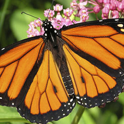 Monarch butterfly | Credit: iStock