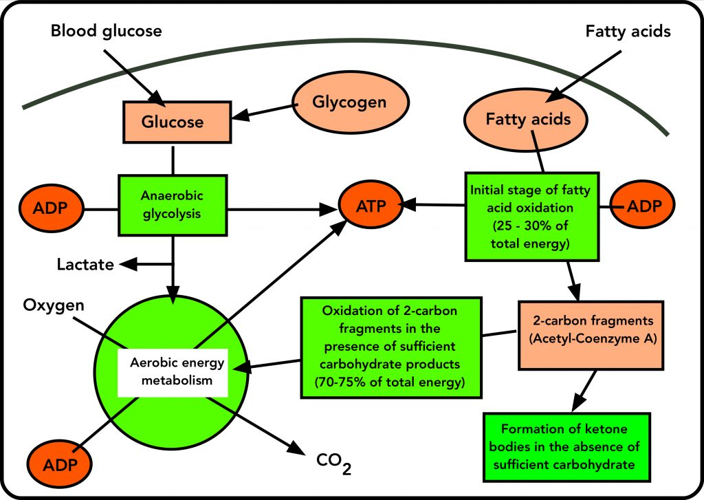 Energy metabolism from carbohydrate and fat